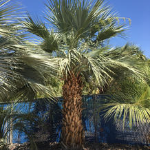 Mexican Blue Palms