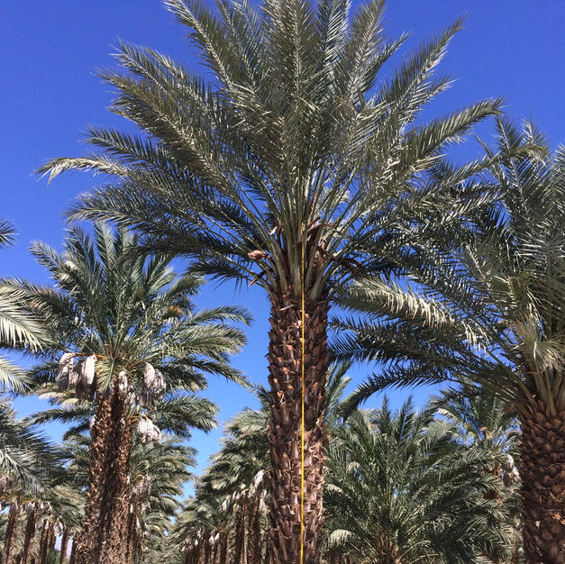 Macho Date Palms