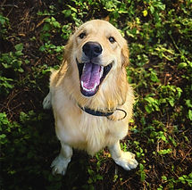 photo-of-golden-retriever-sitting-on-grass-2409503_edited_edited.jpg