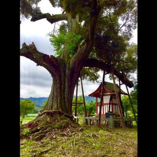 Sacred tree in Arashiyama