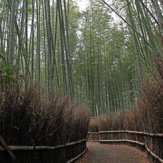 Amazing Bamboo Forest of Arashiyama