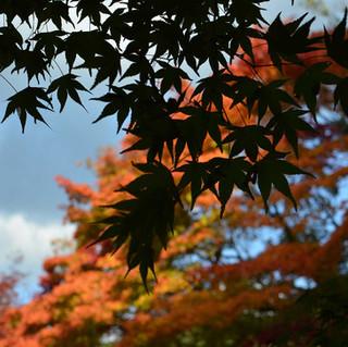Autumn Foliage in Arashiyama, Kyoto