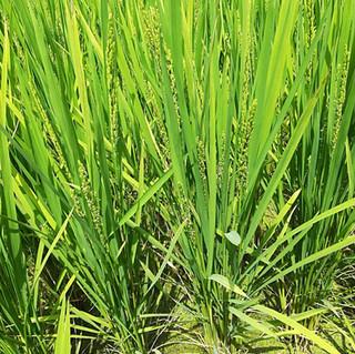 Rice Field in Arashiyama