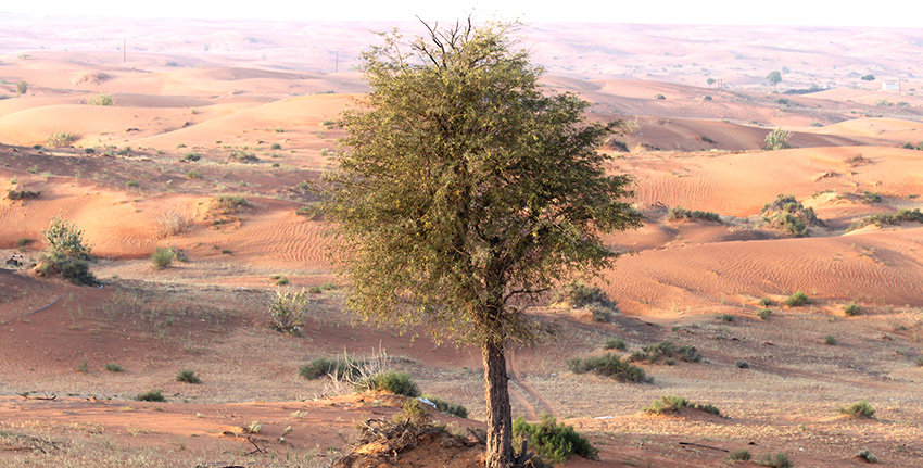 ghaf-tree-1 (2).jpg