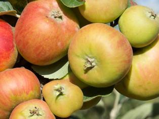 Château-Renard - Aux vergers de la Bernillière, les pommiers ont apprécié cette été...