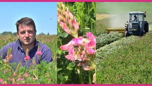 Le sainfoin, plante fourragère aux mille vertus, refait son apparition sur nos territoires