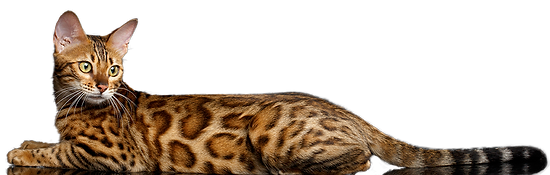 bengal chatons adopter acheter chat de race