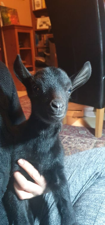 Name The Baby Goat