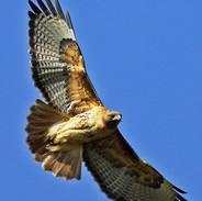 Hawk-8-jpeg.jpg