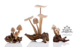 #95_ 96_ 94-2 Mushroom group_logoWEB_edi