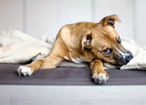 What Vaccinations Does My Adult Dog Need?