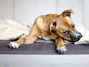 Pourquoi votre chien aboie, fait ses besoins et détruit lorsqu'il est seul?