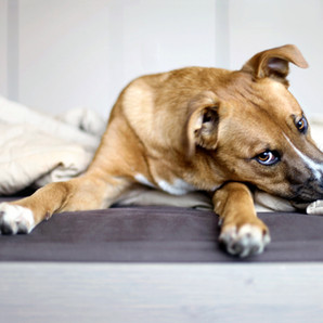 Gastrointestinal Disorders in Dogs 4
