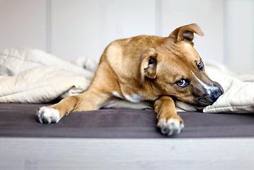 Ruskea koira makuulla