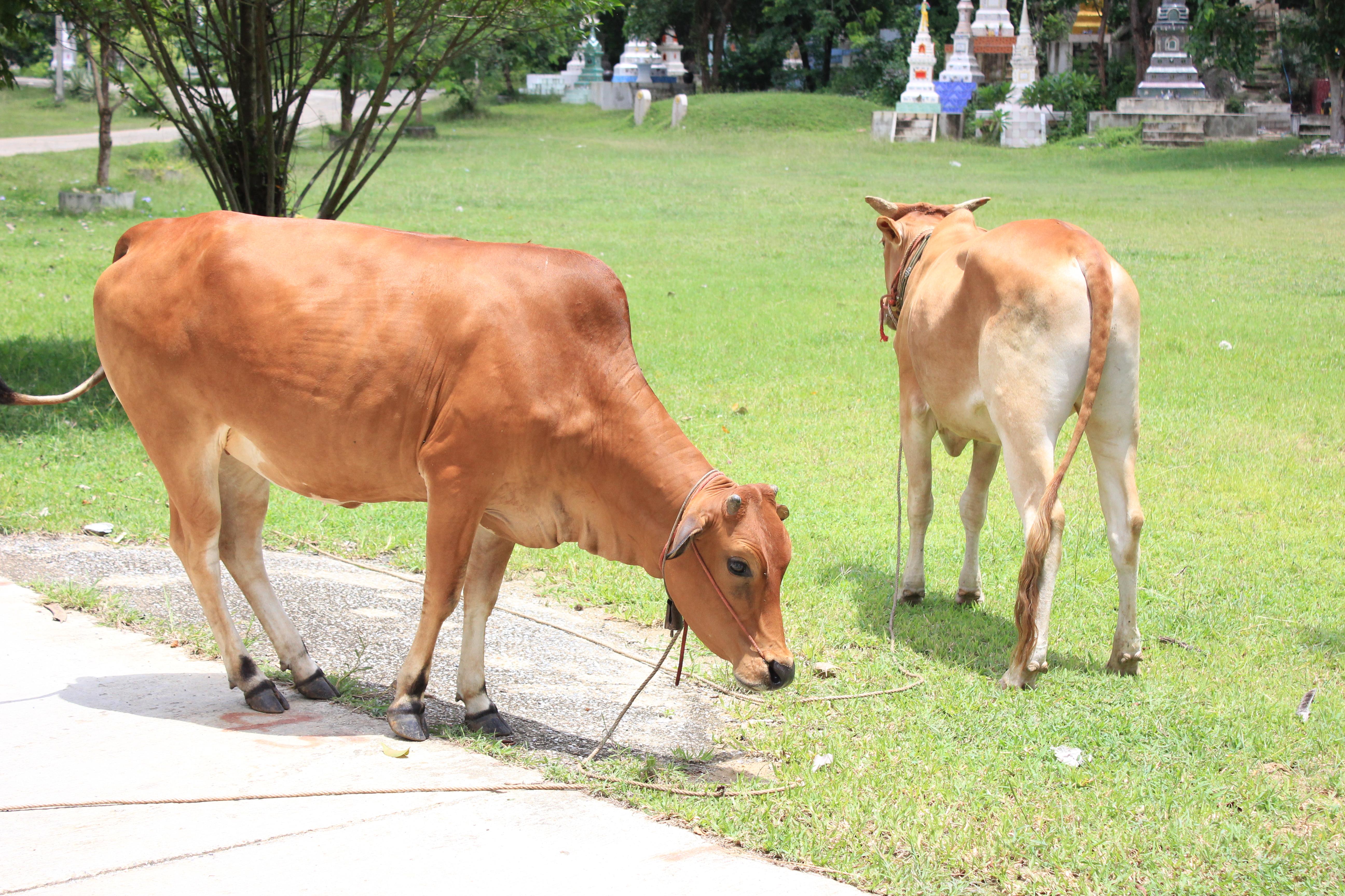 Vacas con tumbas de fondo