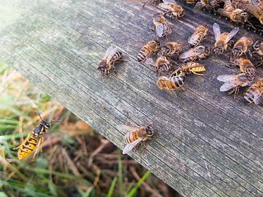 Wasp attack.jpg