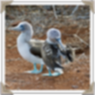 Blue-Footed Boobies on Galapagos Islands.