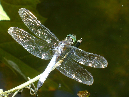 Diamond Dragonfly.jpg
