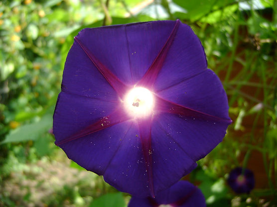 Morning Glory Sun.jpg