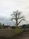 Large Tulip tree in Bristol under going King Tree surgery