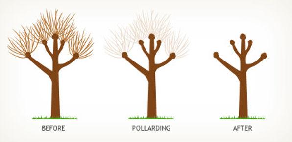 Tree Pollarding service bristol