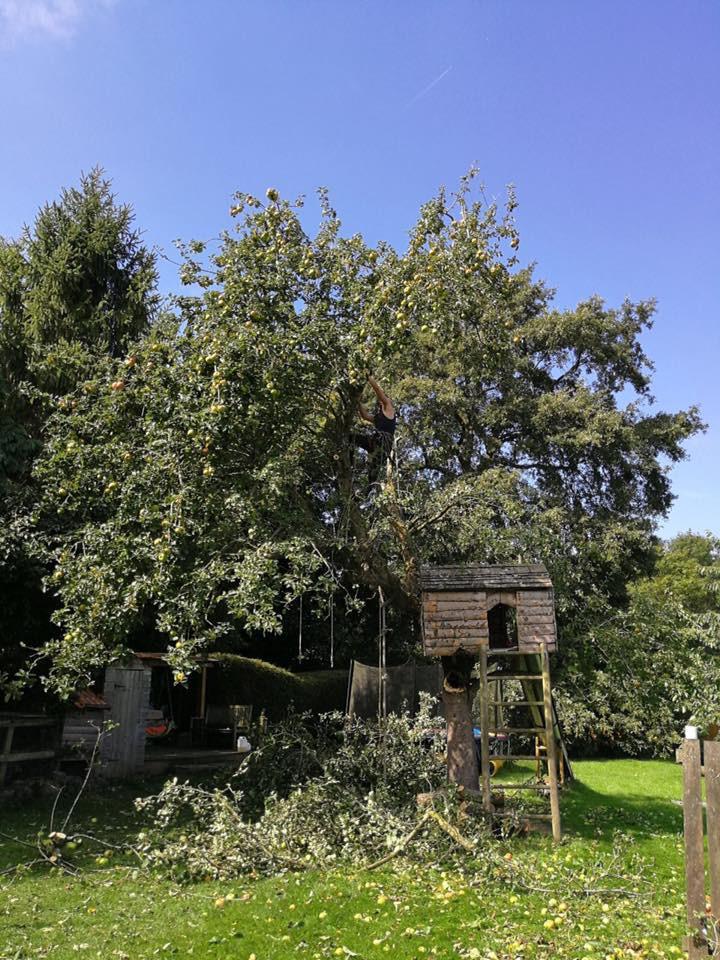 Dangerous Tree Before Trimming