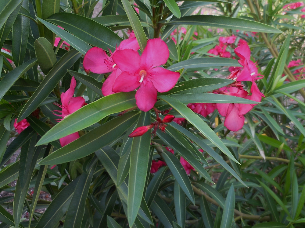 Anns Oleander.053115.JPG