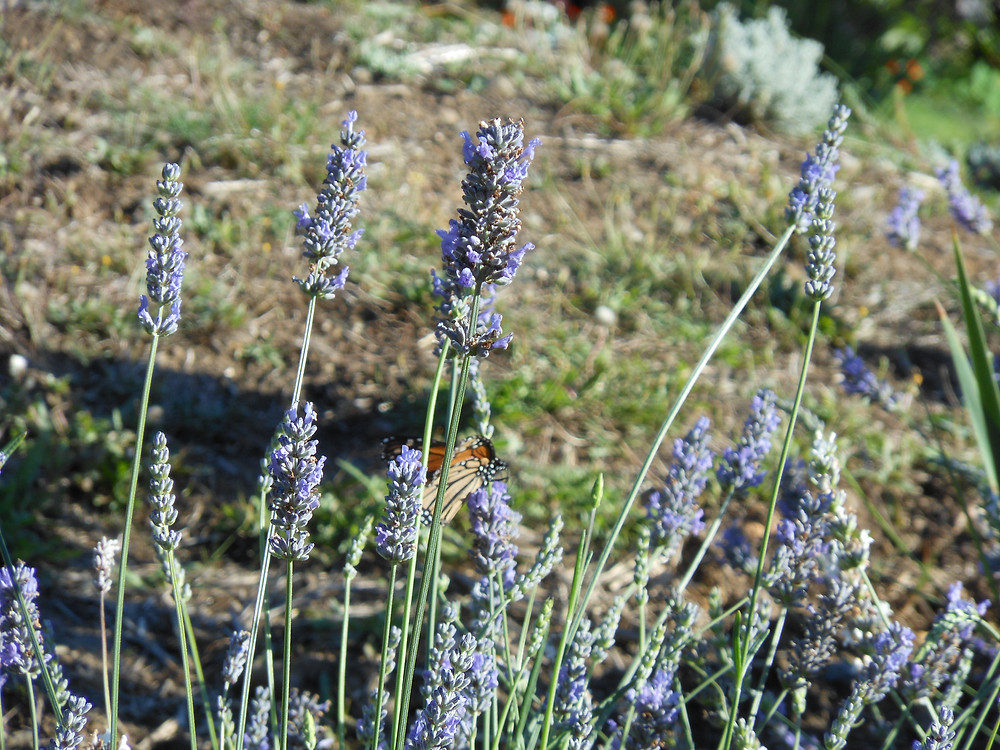 Lavendar with butterfly.JPG