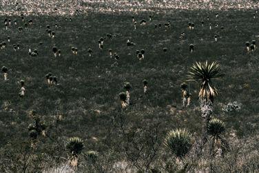 Yucca Landscape III