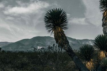 Yucca Landscape I