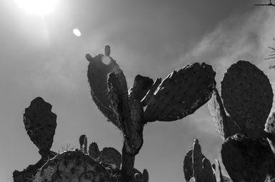 Cacti BW II