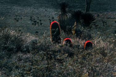 3 Ferocactus
