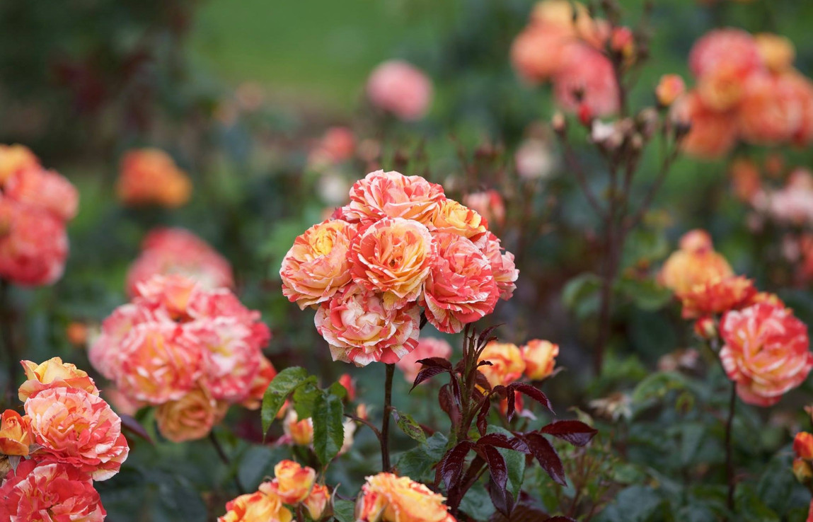 Rose Garden, Tralee, County Kerry