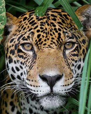 jungle-for-jaguars.png