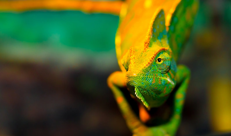 Chameleon close up. Multicolor Beautiful