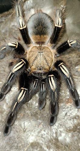 Ephebopus murinus (Skeleton tarantula)