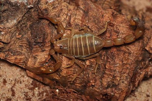 Leiurus quinquestriatus (Death stalker)