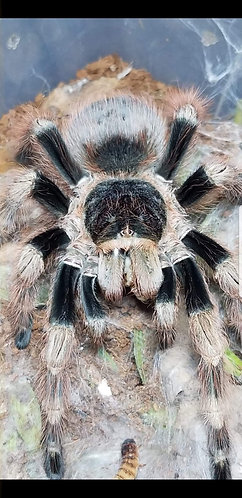 Nhandu coloratovillosus (Brazilian black and white)