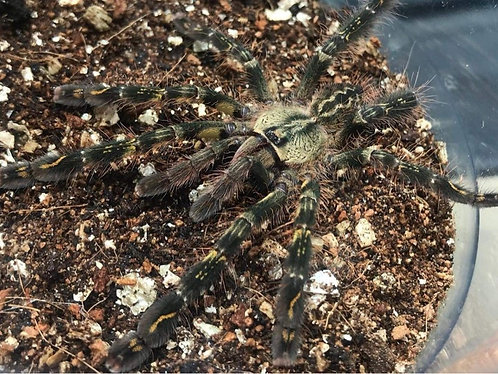 Poecilotheria ornata (Fringed ornamental) WI ONLY