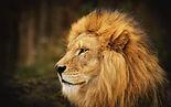 UHSkIz8-lion-wallpapers.jpg
