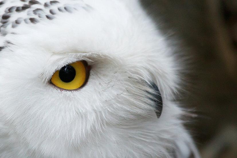 Snowy Owl Membership