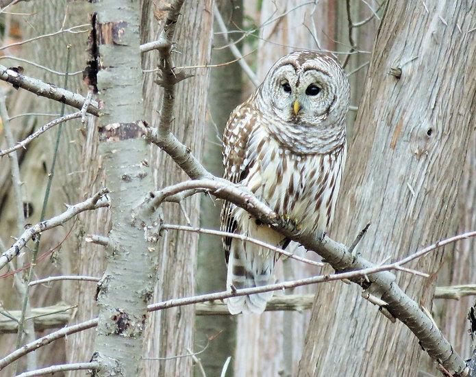 Barred Owl Membership