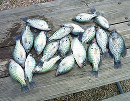 Photos | reelfoot crappie fishing guide reelfoot crappie guide