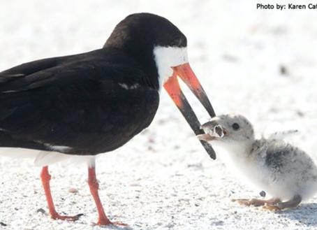 Captan gaviota intentando alimentar a su polluelo en la playa. La «comida» que encontró dice mucho.