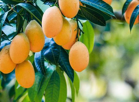 Manga: conheça os benefícios dessa fruta que é a cara do verão