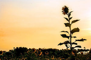 sunflower-field-silhouette_7180-1000.jpg