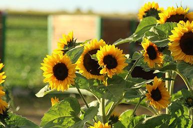 Sunflowers_ja