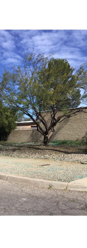 Final Afte Misquite Tree.jpg