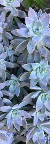 'Ghost Plant' Graptopetalum Paraguayense