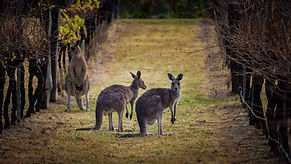 australian-wine-regions-varietals-food-p